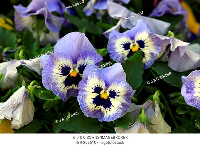 Horned Pansy (Viola cornuta), Germany, Europe