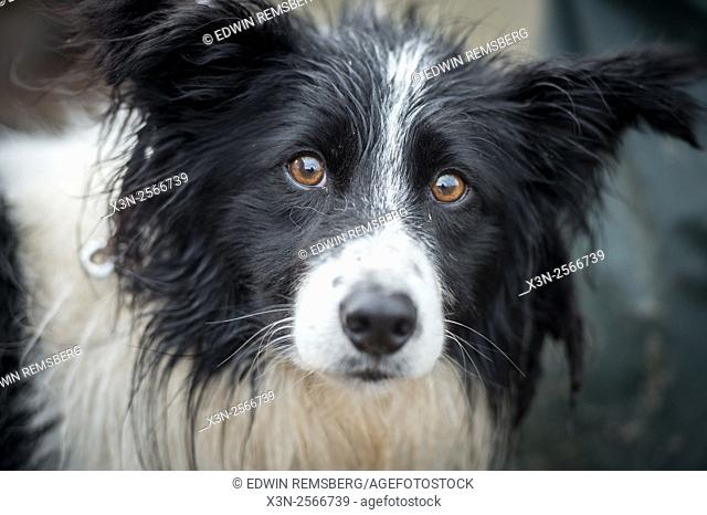 Border collie at the International Sheep Dog Trials in Moffat, Scotland, UK