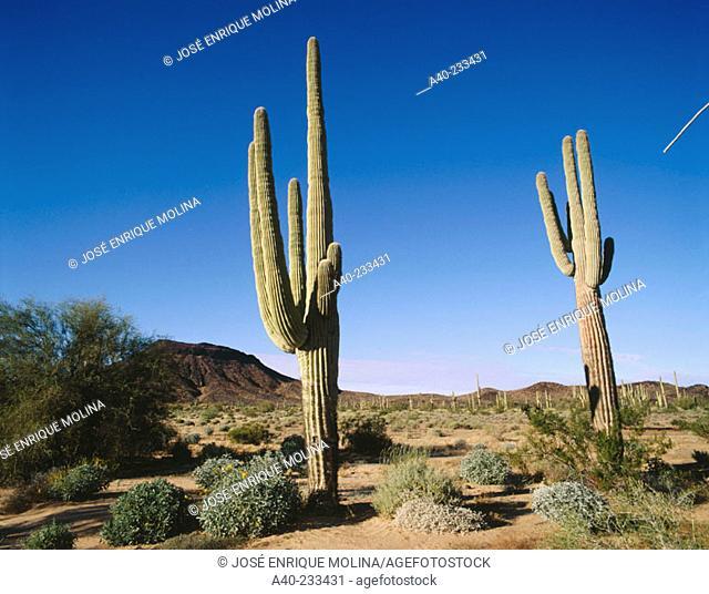 Saguros (Carnegia gigantea) in 'Pinacate and Altar Desert' Biosphere Reserve. Sonora. Mexico
