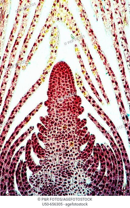 Bud of Hydrilla, Apical meristem, embryonic shoot, undifferentiated meristematic tissue , 100 X, optical microscope, photomicrography, plant anatomy , botany