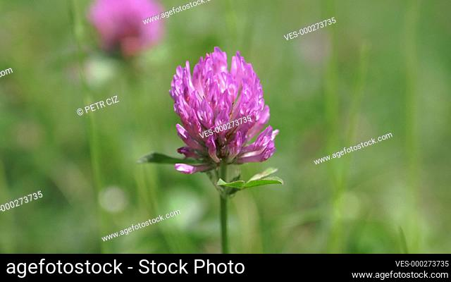 Red clover close up in green grass background footage