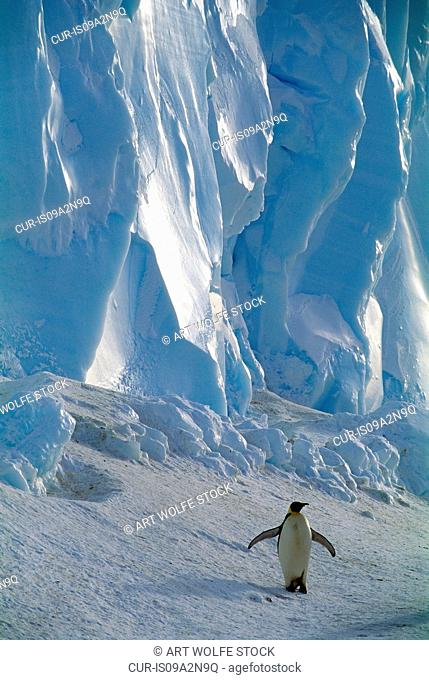 Largest of all the penguins, Emperors are only found on and around the Antarctic continent. Emperor penguins can be distinguished by open, yellow