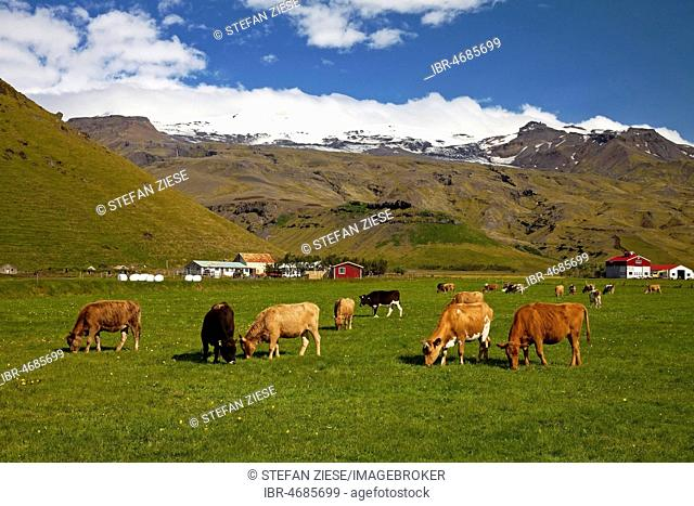 Peacefully grazing cows in front of the Eyjafjallajökull glacier, Eyjafjöll, South Iceland, Iceland