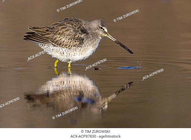 Long-billed Dowitcher - Burnaby Lake, BC