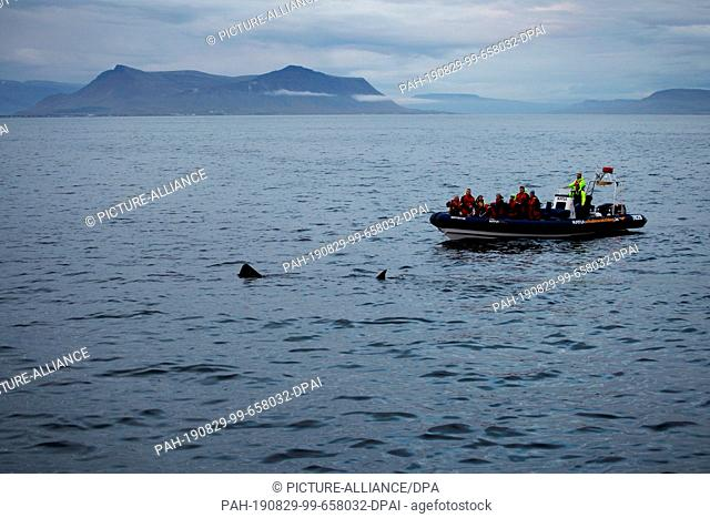 ILLUSTRATION - 22 August 2019, Iceland, Reykjavik: A basking shark swims off the coast of Iceland in front of a whale watching boat