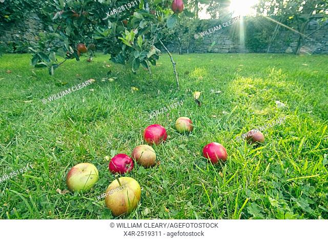 Apples lie on the grass, having fallen from the tree