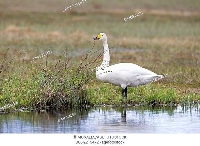 Europe, Finland, Kuhmo area, Kajaani, Whooper swan (Cygnus cygnus), adult male