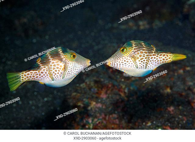 Valentines Puffer, also known as Valentines Sharp Nosed Puffer and Black-Saddled Toby, Canthigaster valentini. Two males fighting during a territory dispute