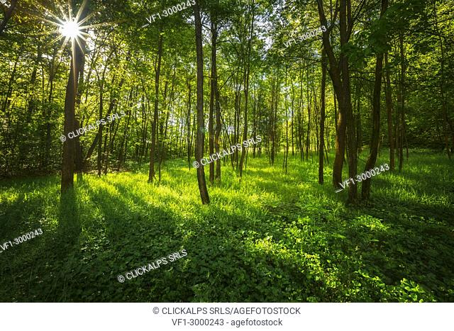 Sunbeam in the woods Como province, Lombardy, Italy, Europe