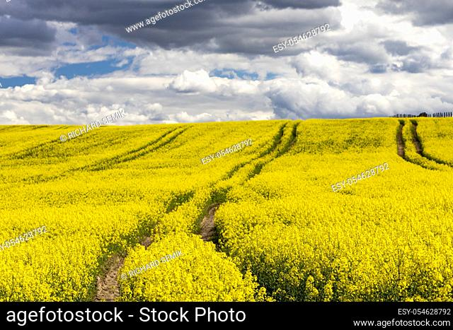 Rapeseed field in Central Bohemia, Czech Republic