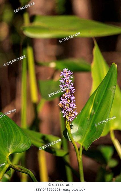 Purple flowers on a pickerelweed pant Pontederia cordata at the Corkscrew Swamp Sanctuary in Naples, Florida