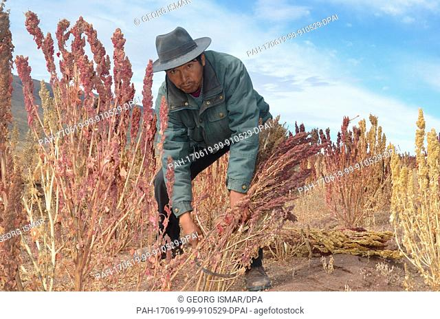 Quinoa farmer Julian Canavari harvests red Quinoa near the town of Challapata, Bolivia, 27 May 2017. Due to the drop in prices