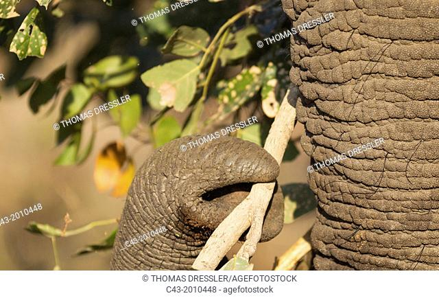 African Elephant (Loxodonta africana) - Bull, grasping twigs and leaves with the tip of the trunk in order to bring them to his mouth