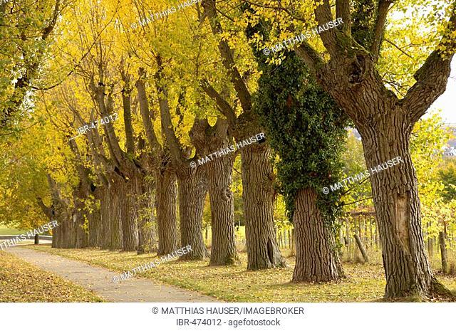 Tree-lined path with black poplars in autumn, University Hohenheim, Baden-Wuerttemberg, Germany
