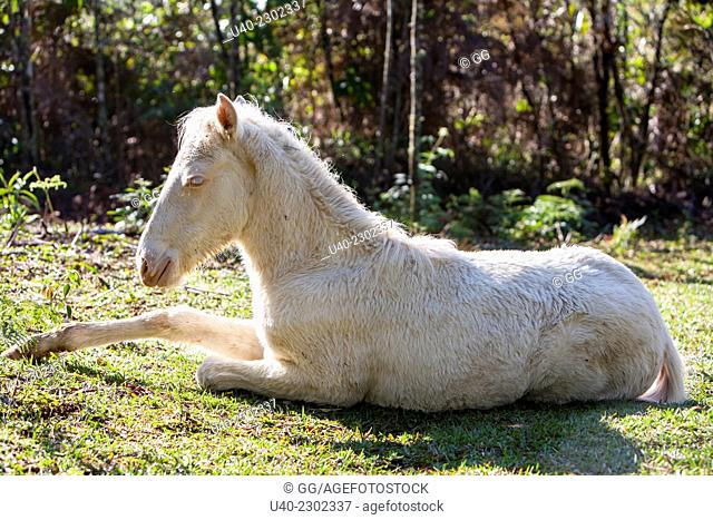 Albino Colt laying in forest