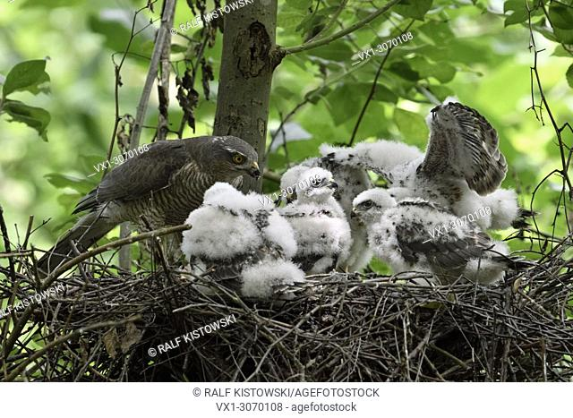 Sparrowhawk ( Accipiter nisus ), adult female with five chicks nesting in a deciduous tree, feeding its offspring, wildlife, Europe