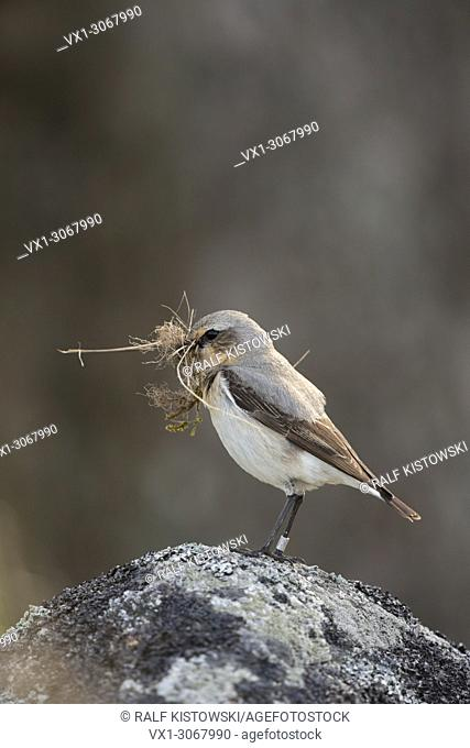 Northern Wheatear (Oenanthe oenanthe) carrying nesting material in its beak, perched on a rock, wildlife, Sweden, Europe