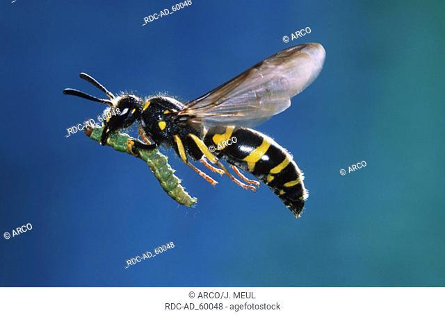 Mason Wasp with prey Belgium Ancistrocerus nigricornis side