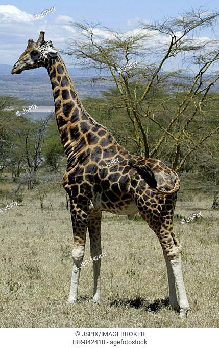 Rothschild Giraffe, Baringo Giraffe of Uganda Giraffe (Giraffa camelopardalis rothschildi), adult, Lake Nakuru, Kenya, Africa