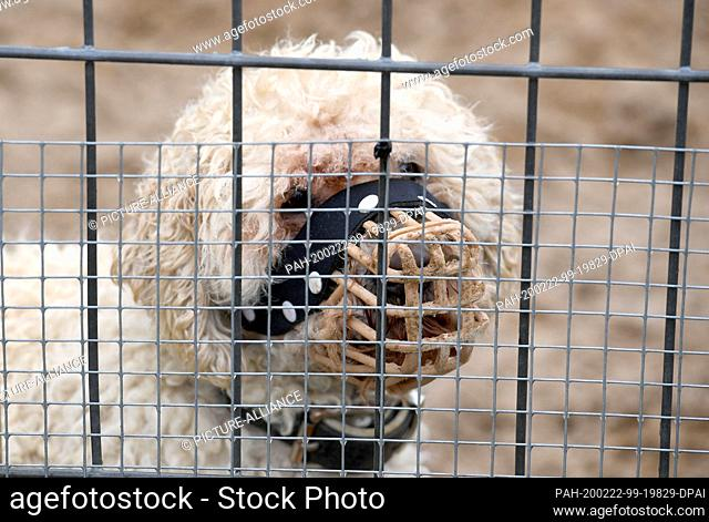 """20 February 2020, Schleswig-Holstein, Kiel: The mixed breed """"""""Merlin"""""""", classified as a """"""""problem dog"""""""", is kept in an enclosure in the animal shelter of the..."""