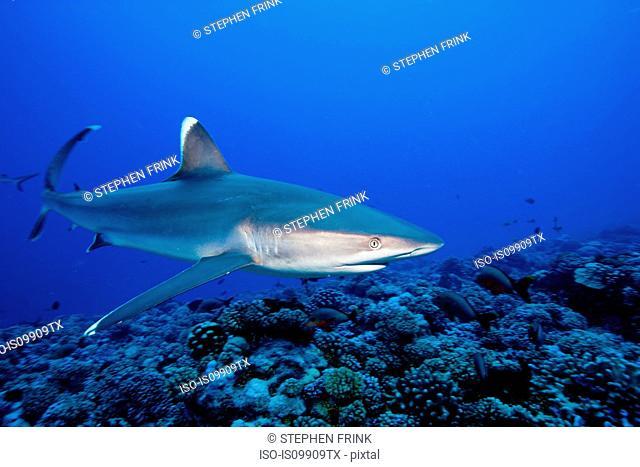 Majestic silvertip shark