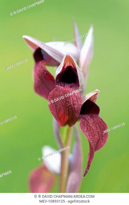 Small Flowered Tongue Orchid (Serapias parviflora). Spain