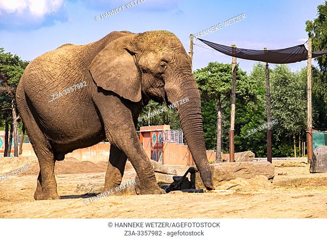 Big African elephant in Beekse Bergen zoo, The Netherlands, Europe