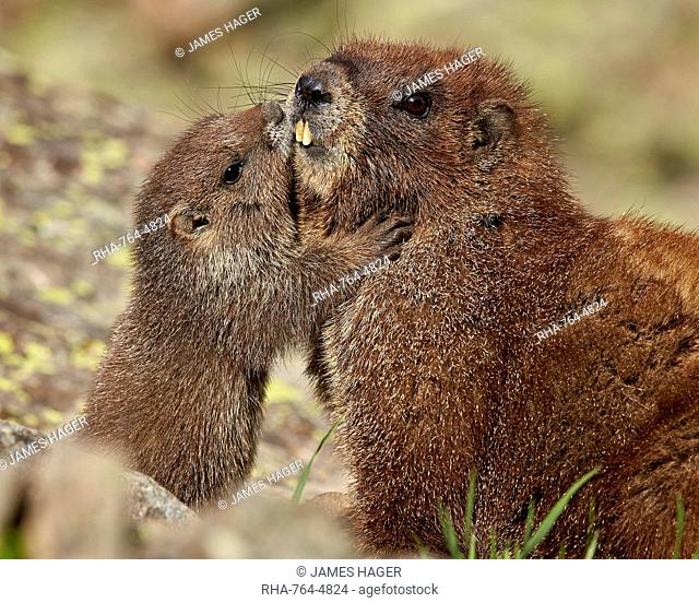 Yellow-bellied marmot (yellowbelly marmot) (Marmota flaviventris) young and adult, San Juan National Forest, Colorado, United States of America, North America