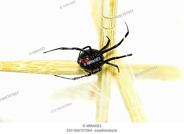 Beautiful and deadly female black widow spider, Latrodectus hesperus, with visible bright red hourglass shape underneath her abdomen