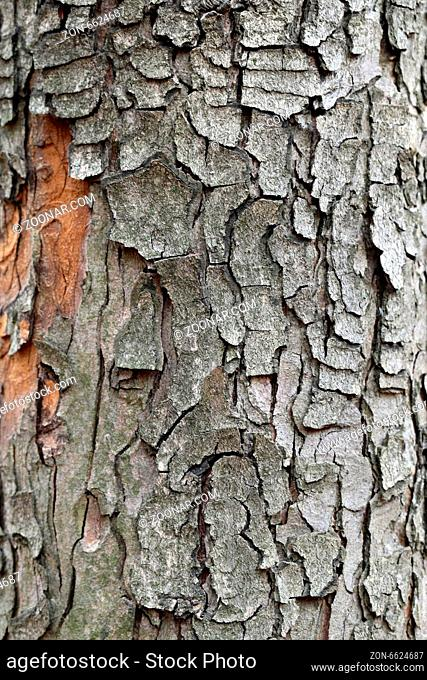 oak bark of a large tree photographed close up