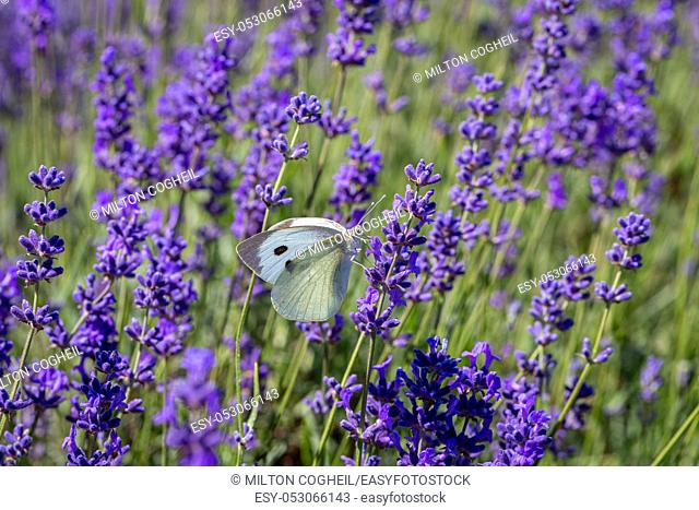 Cabbage White Buterfly (Pieris brassicae) resting on a lavender flower