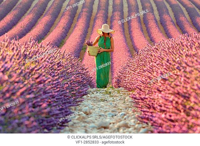 Europe, France, Provence Alpes Cote d'Azur, Plateau de Valensole. Woman in lavender field