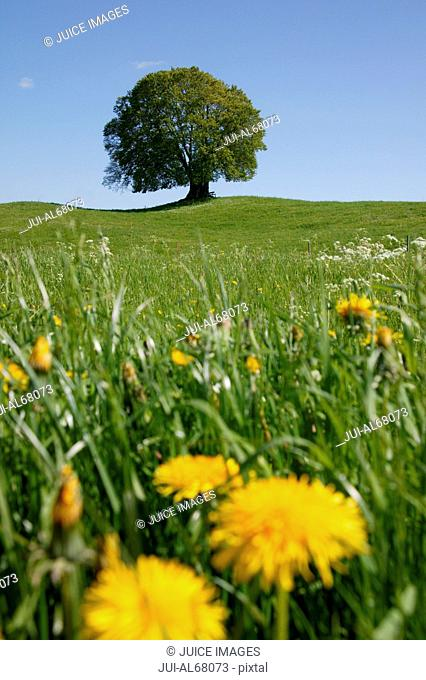 Meadow and tree in spring, Bavaria, Germany