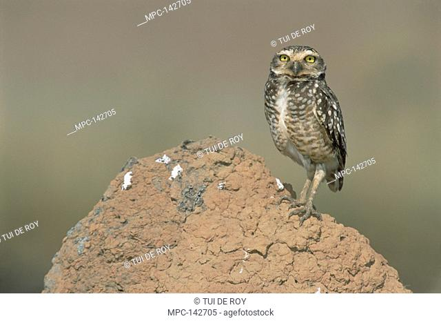 Burrowing Owl Athene cunicularia, perched on termite mound in typical Cerrado habitat, Emas National Park, Brazil