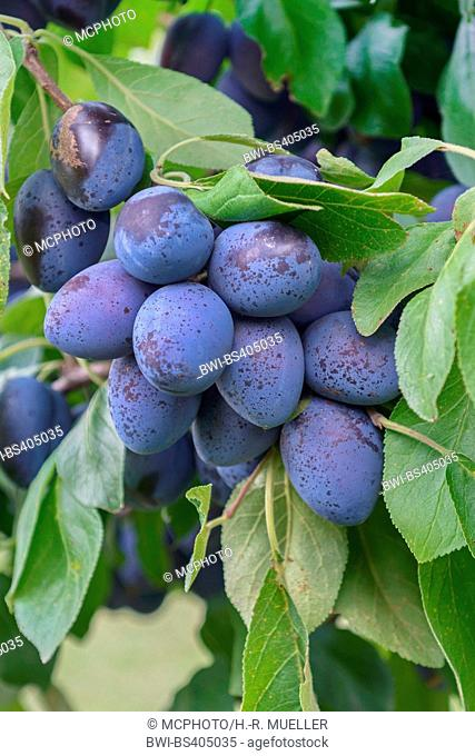 European plum (Prunus domestica 'Chrudimer', Prunus domestica Chrudimer), plums on a branch, cultivar Chrudimer, Germany