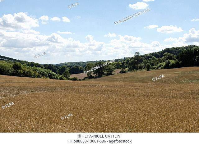 Development of a winter wheat crop from seedling to harvest, harvested, Berkshire, August