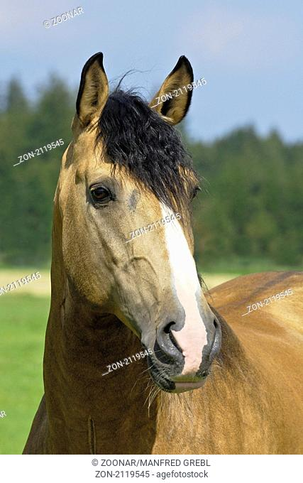 Lusitano Hengst / Lusitano horse stallion
