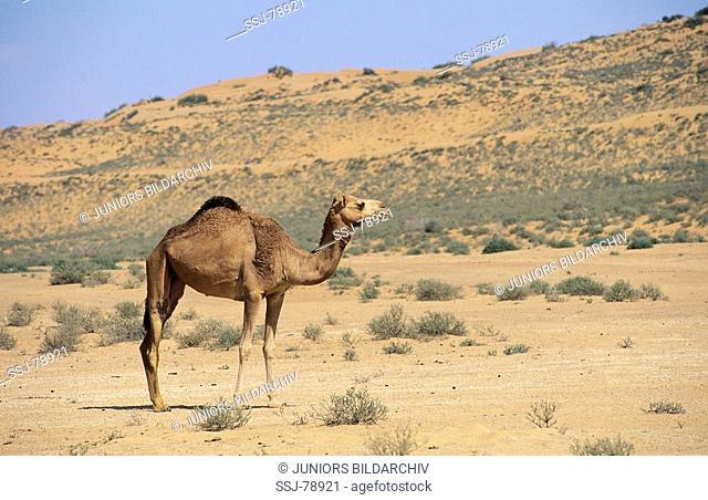 camelus dromedarius / dromedary , one-humped camel