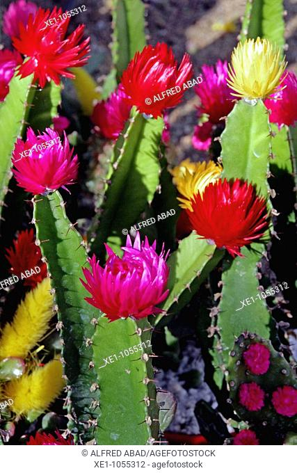 Cactus with colored flowers , gardering