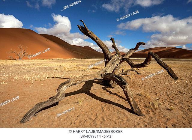 Dead Camel thorn tree (Vachellia erioloba), sand dunes, in front of Dune 45, Sossusvlei, Namib Desert, Namib-Naukluft National Park, Namibia