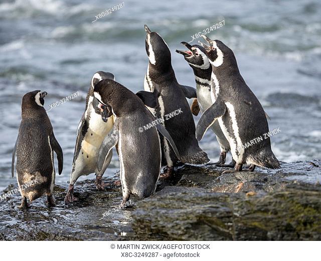 Social interaction and behaviour in a group. Magellanic Penguin (Spheniscus magellanicus). South America, Falkland Islands, January