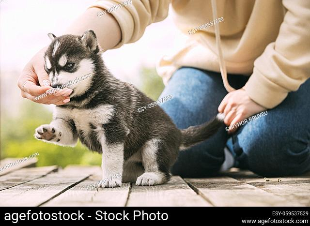 Four-week-old Husky Puppy Of White-gray-black Color Eating From Hands Of Owner And Help With Paw