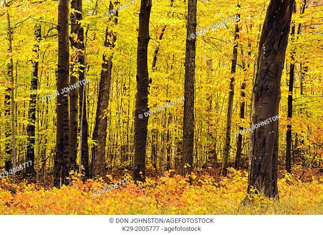 Beech-maple hardwood forest in late autumn colour, Hulbert's Corner, Michigan, USA