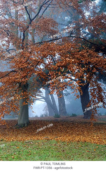Beech, European beech, Fagus sylvatica, Several trees in winter mist, still bearing many of their dry brown leaves, and a carpet of them beneath
