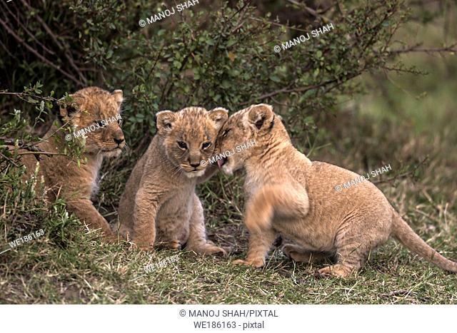 Lion cubs playing, Masai Mara National Reserve, Kenya