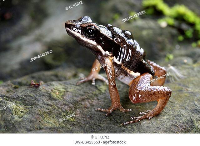 Talamanca rocket frog, Talamanca striped rocket frog (Alobates talamancae, Colostethus talamancae), on the ground, Costa Rica