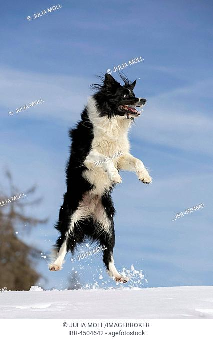 Jumping Border Collie in the snow