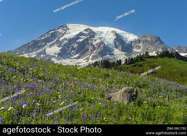 Wildflowers, mostly Broadleaf Lupines (Lupinus latifolius), along the Skyline Trail at Paradise with Mount Rainier in the background in Mt