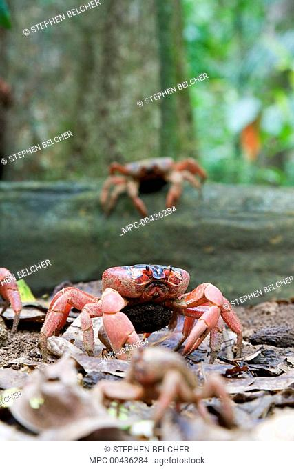 Christmas Island Red Crab (Gecarcoidea natalis) female with eggs walking through the forest, Christmas Island, Australia
