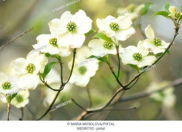 White Dogwood Blossom. Cornus florida. March 2007. Maryland, USA
